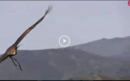 Montería en Parapuños -  Cazando con el Águila Real (08/04/18)