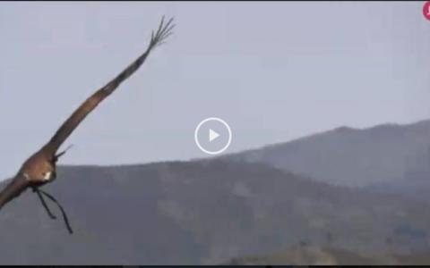 Montería en Parapuños -  Cazando con el Águila Real