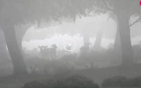 Rececho de muflón tras la niebla - Galgos y liebres en Torre Alta