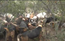 Tras el jabalí en la Raya portuguesa. Recechando la cabra montés de Beceite. (24/06/18)