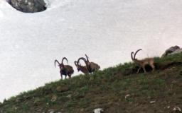 El gran Ibex en Kirguistán, extremeños tras el corzo gallego (03/06/18)