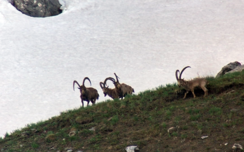 El gran Ibex en Kirguistán, extremeños tras el corzo gallego